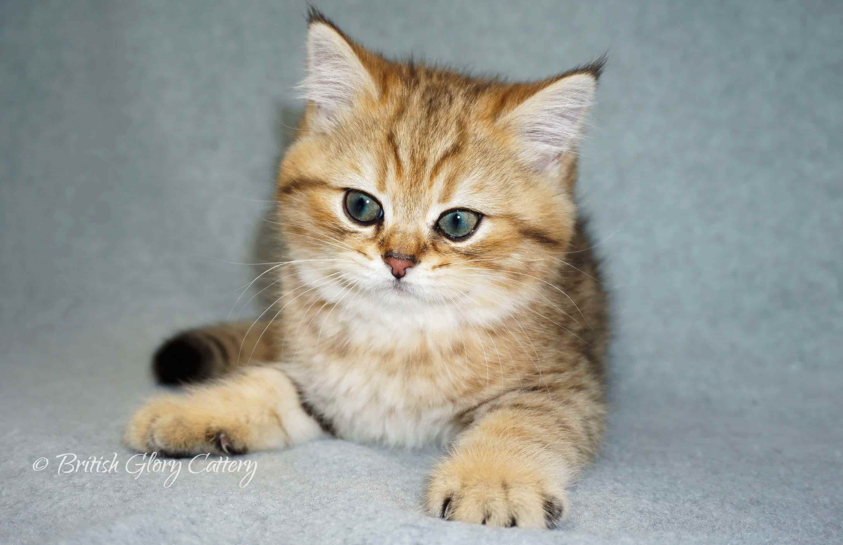 British shorthair golden kitten