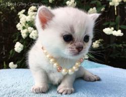 Chinchilla British Shorthair kitten