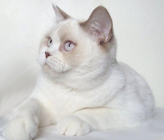 Cinnamon Point Bi-Color British cat