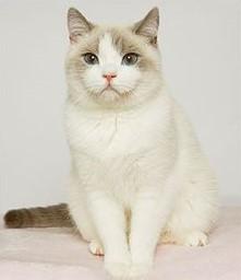 Lilac Point Bi-Color British Cat
