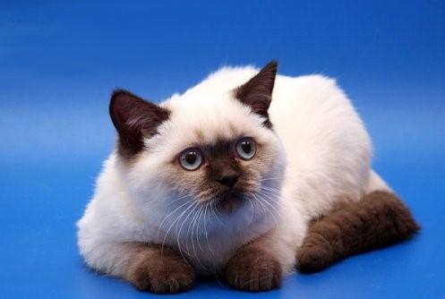Chocolate Point British Cat