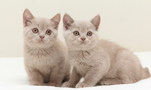 Fawn British Cat