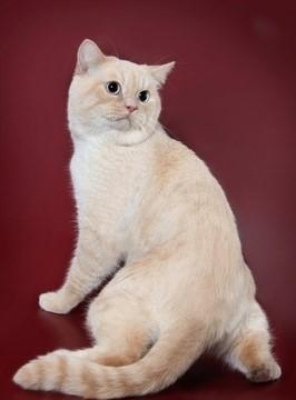 Cream Point British cat