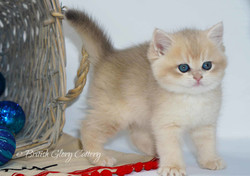 Blue Golden British kitten