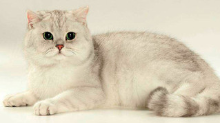 Everything about the British Shorthair