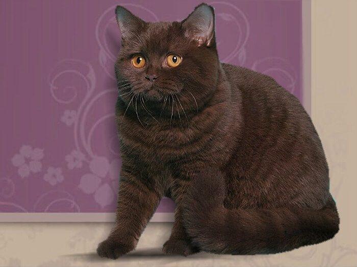 Chocolate British Cat