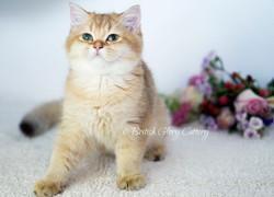 Golden Shaded British Kittens