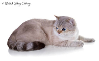 The History of British Shorthair Breed