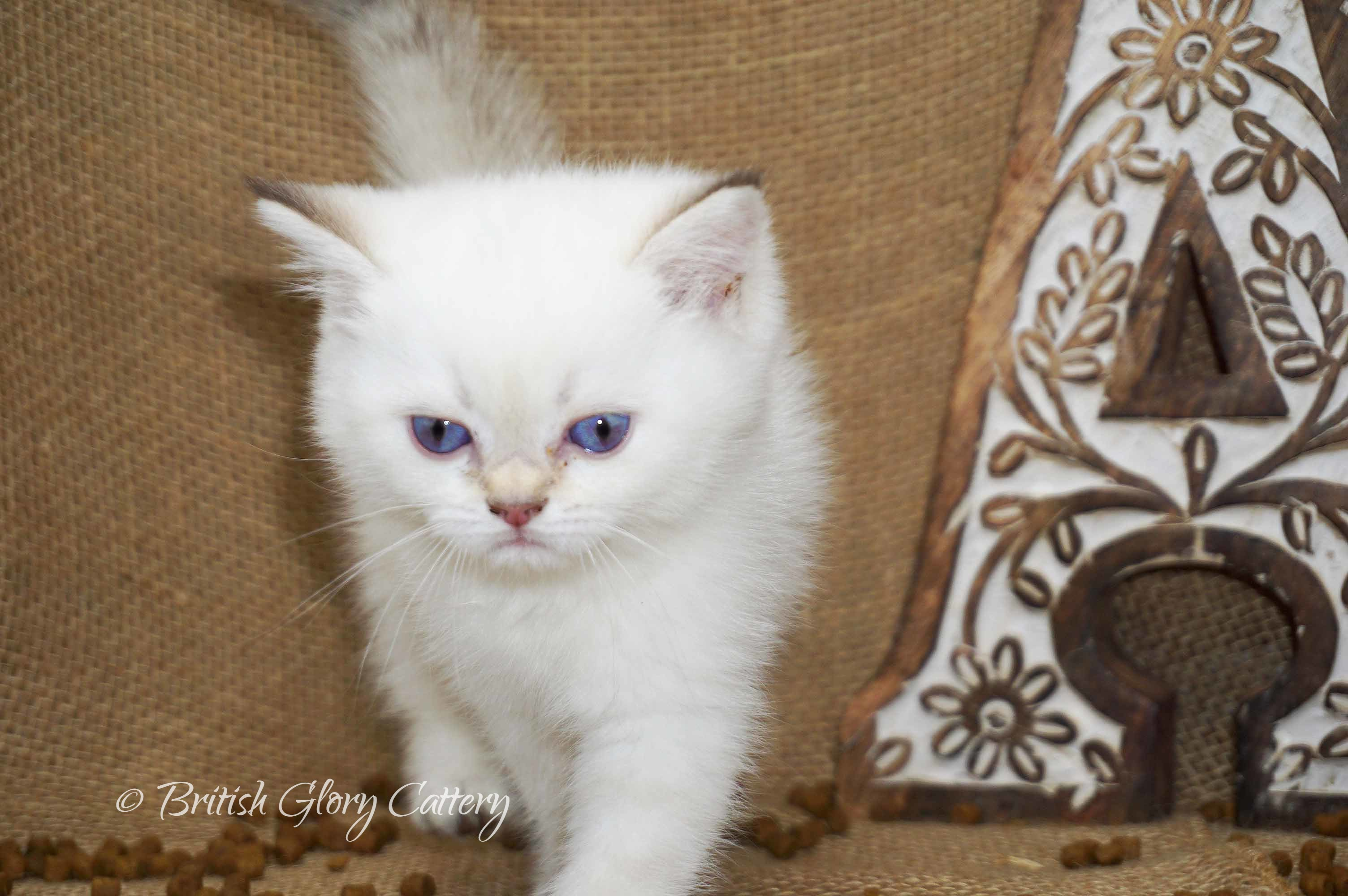 British black golden point kitten