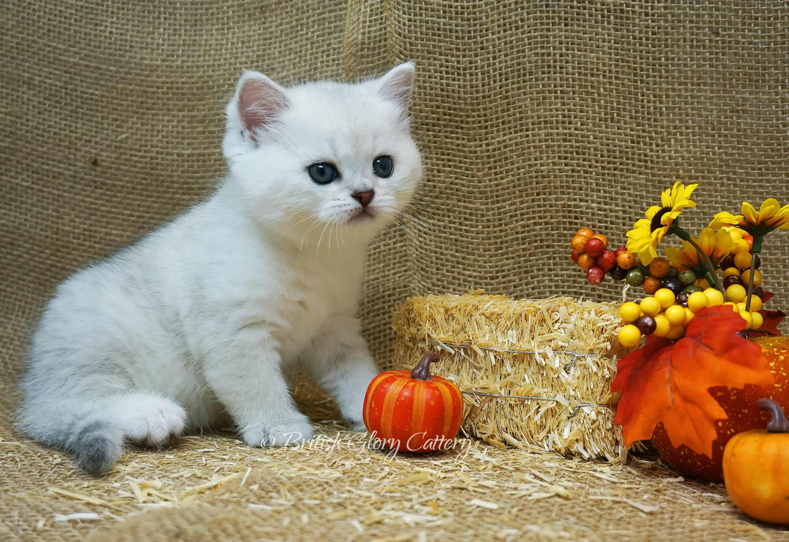 British shorthair silver kitten