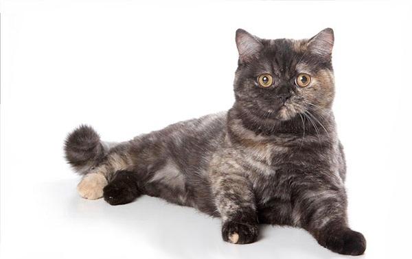 Smoke Tortie British Cat