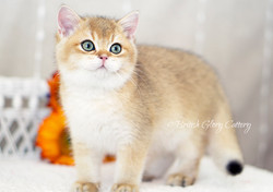 Black Golden Shaded British Kittens
