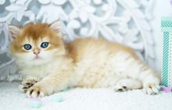Golden Chinchilla British Kitten