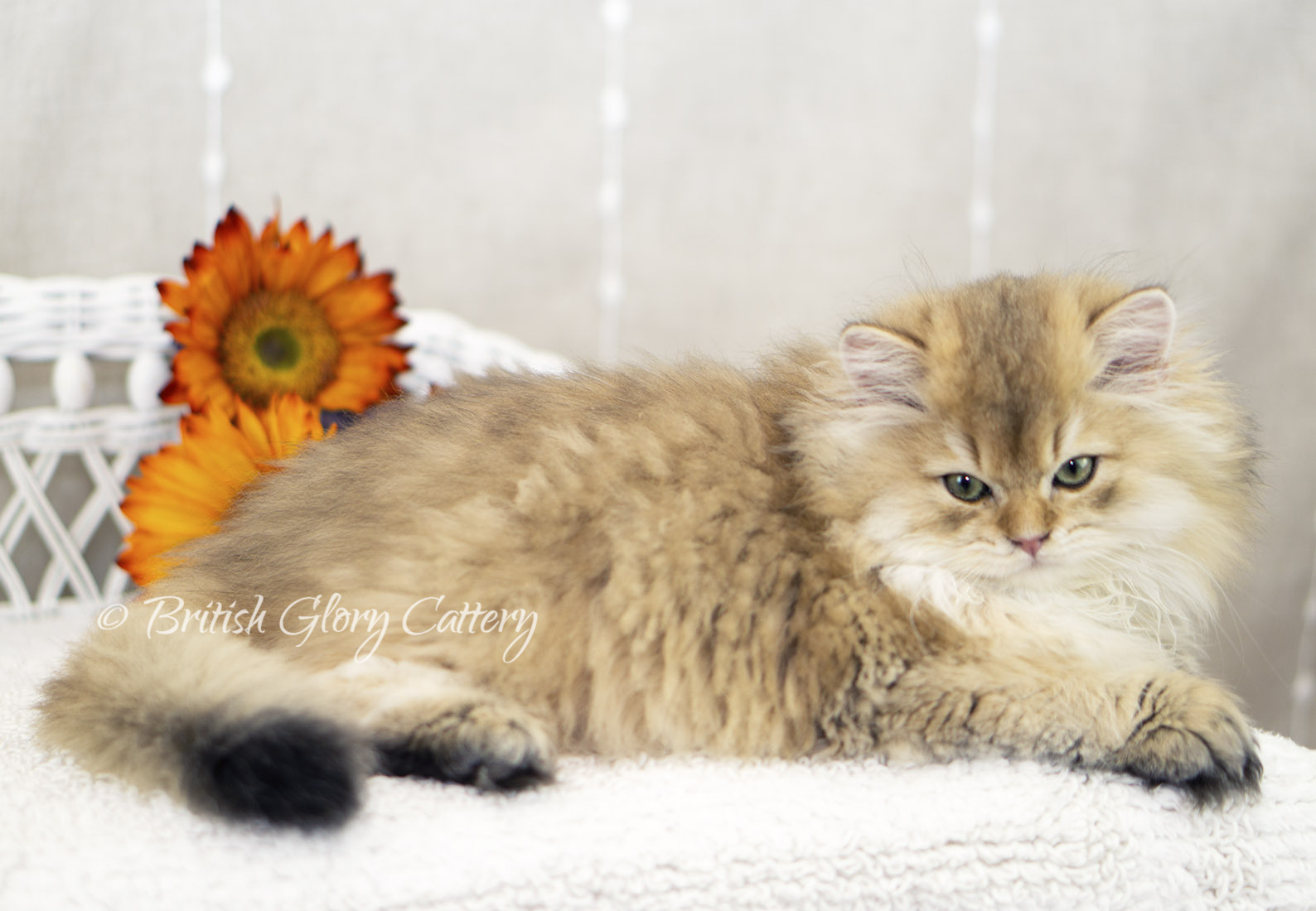 Black Golden Shaded British Longhair
