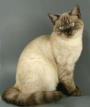Smoke Color Point British Cat