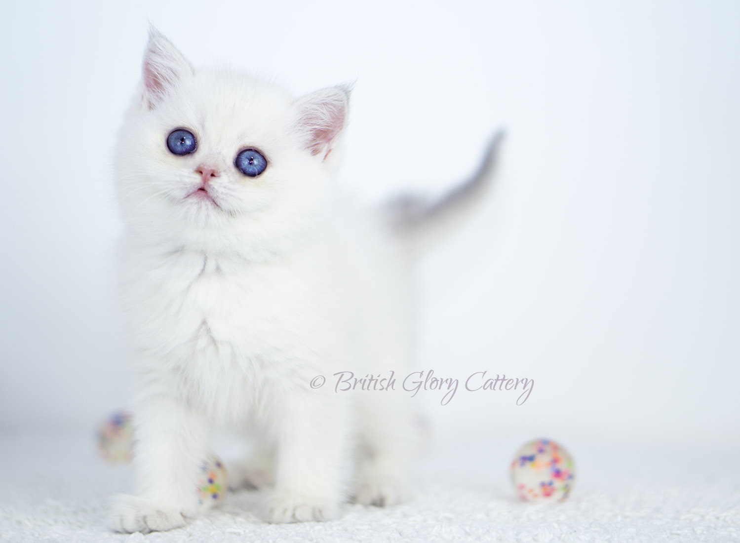 Blue Golden Shaded Point Kitten