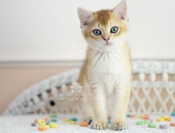 Black Golden Shaded British Shorthair Male Kitten with Green Eyes
