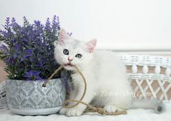 Blue Silver Shaded British Kitten