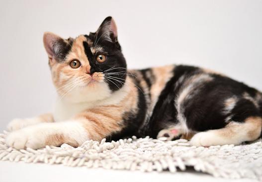 Tortie British Cat