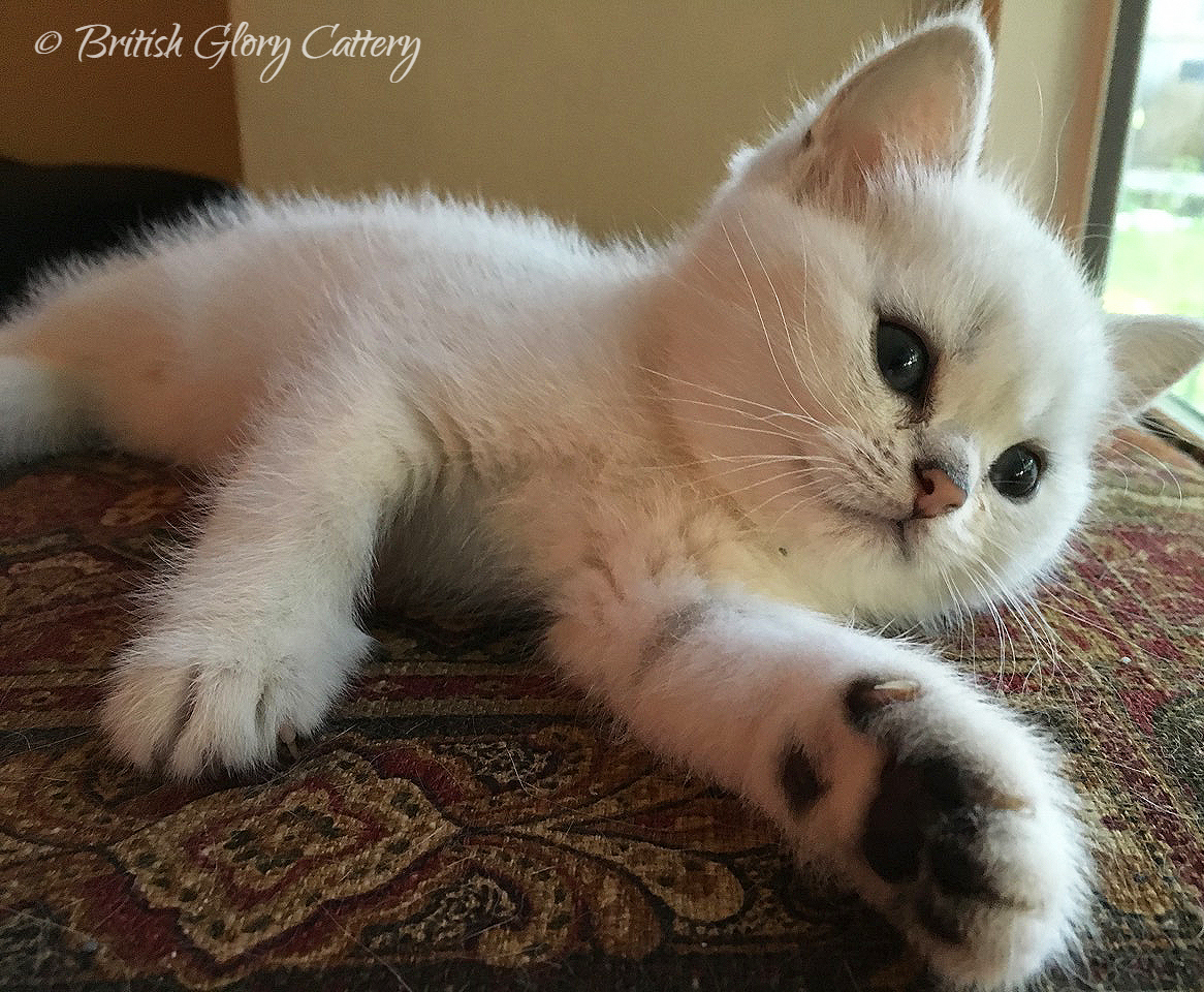 Chinchilla British Shorthair kitten