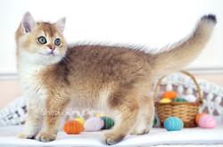 Black Golden Shaded British KittenBlack Golden Shaded British Kitten