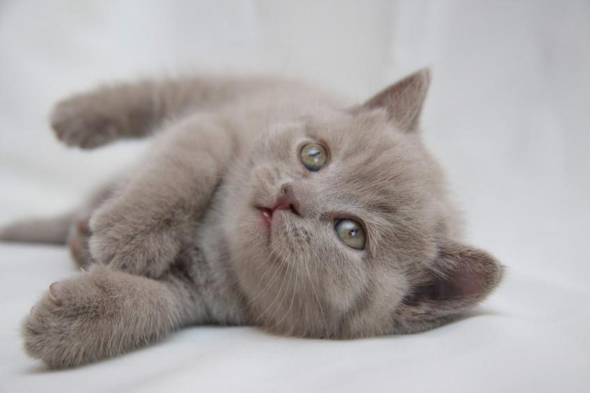 Lilac British Cat