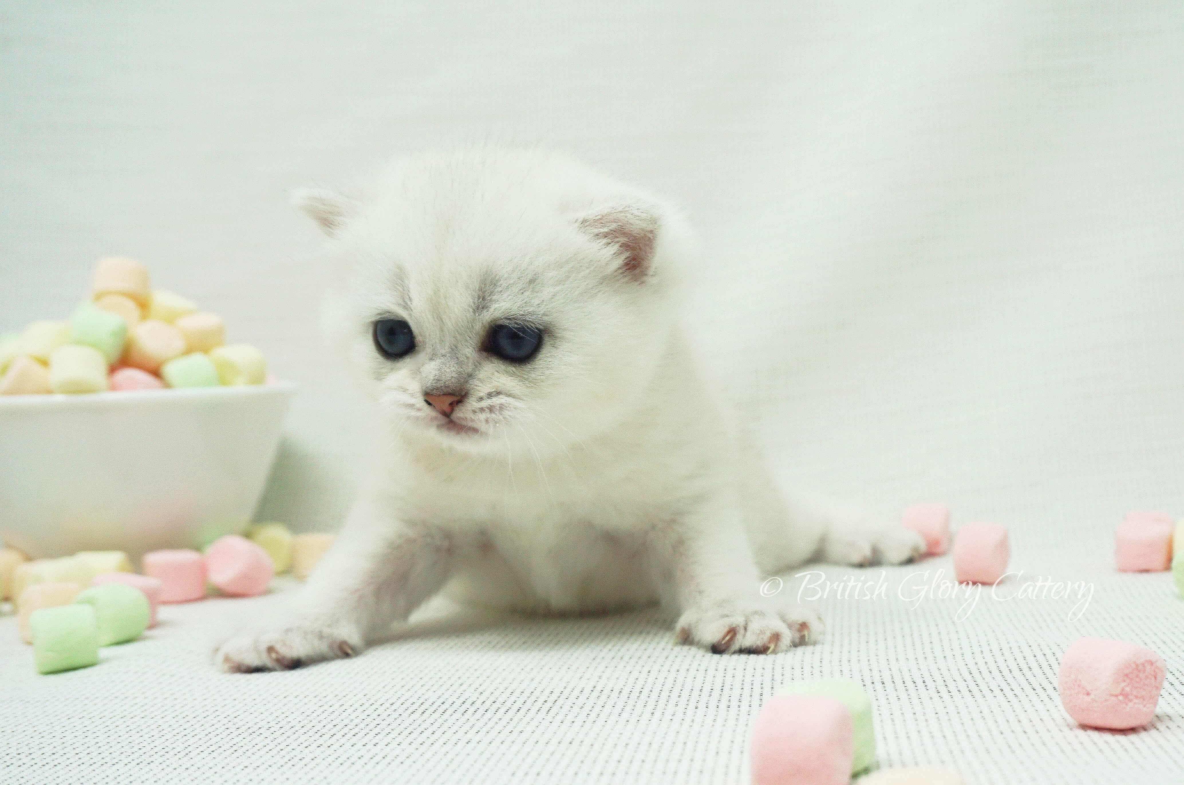 British shorthair silver kitten