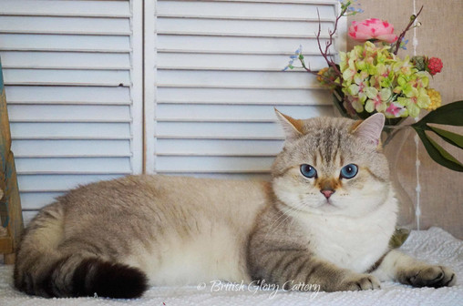 British Shorthair silver shaded chinchilla kitten