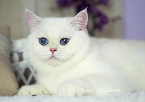 British Shorthair silver and golden shaded chinchilla kitten