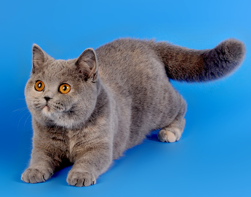Blue Tortie British Cat