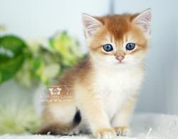 Black Golden Sahded British Kitten