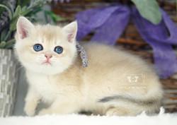 Blue Golden Shaded British Kitten