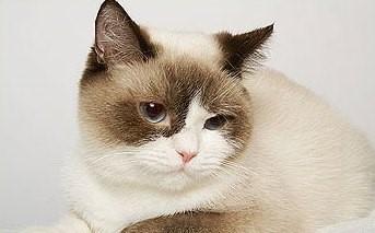 Chocolate Point Bi-Color British Cat
