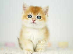 Black Golden Chinchilla British Kitten