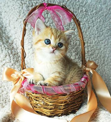 British shorthair black golden shaded kitten with green eyes