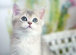 British shorthair blue golden shaded