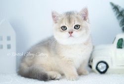 Blue Golden Shaded British Kitten