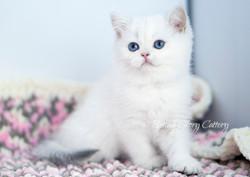 British shorthair color point kitten