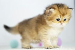 Black Golden Shaded British KittenBlue Golden Shaded British Kitten