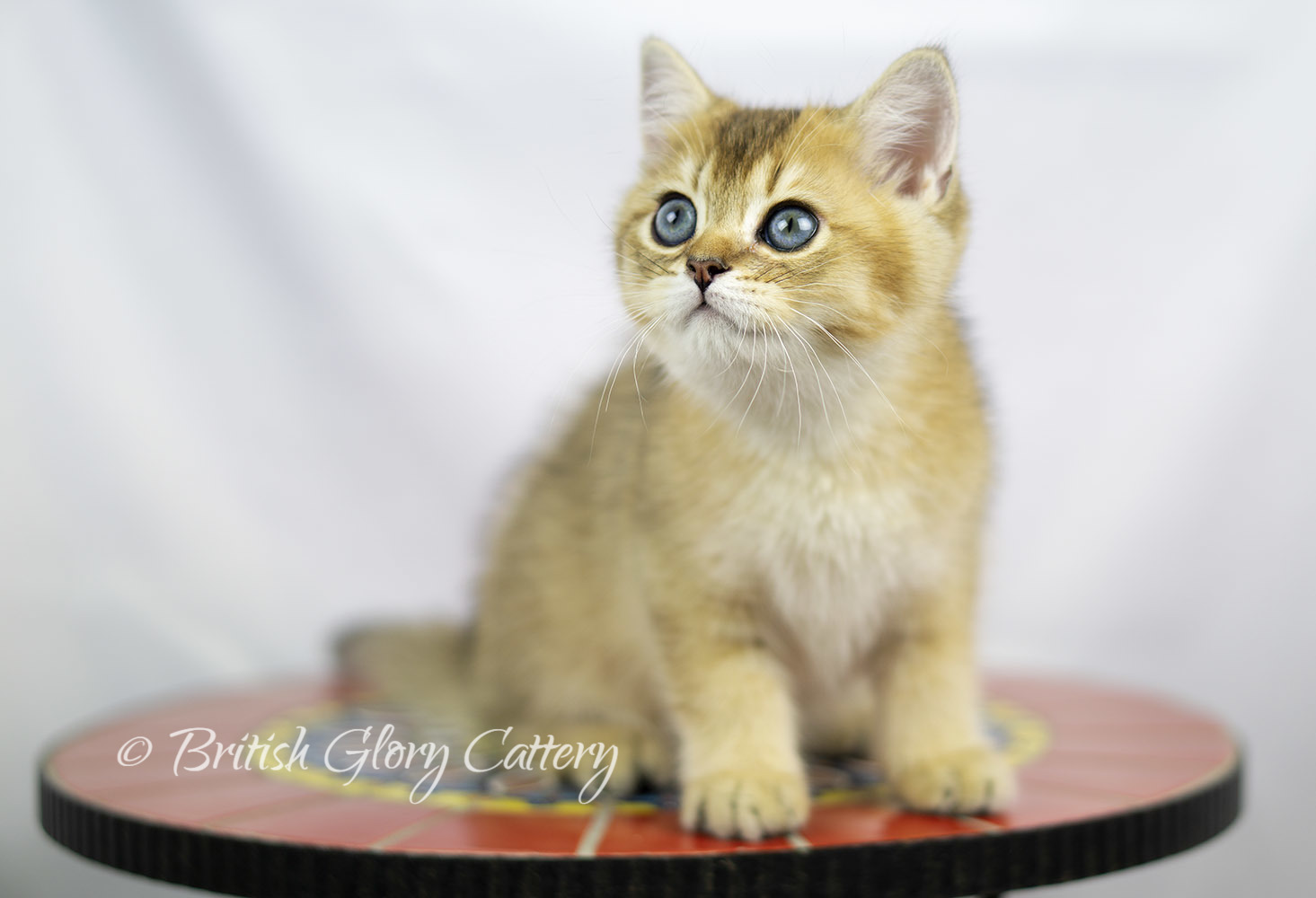 Black golden shaded British kitten