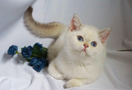 British Shorthair silver shaded chinchilla kitten