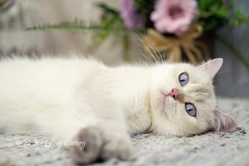 Seal Golden Shaded British Shorthair Cat