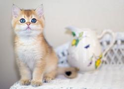 Black golden Shaded Kitten