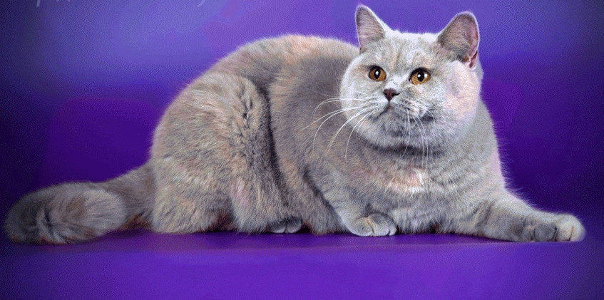 Lilac Tortie British Cat