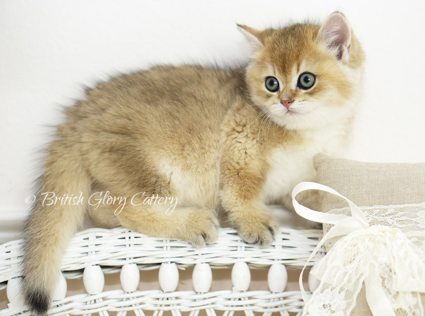 lack Golden Shaded British Kitten