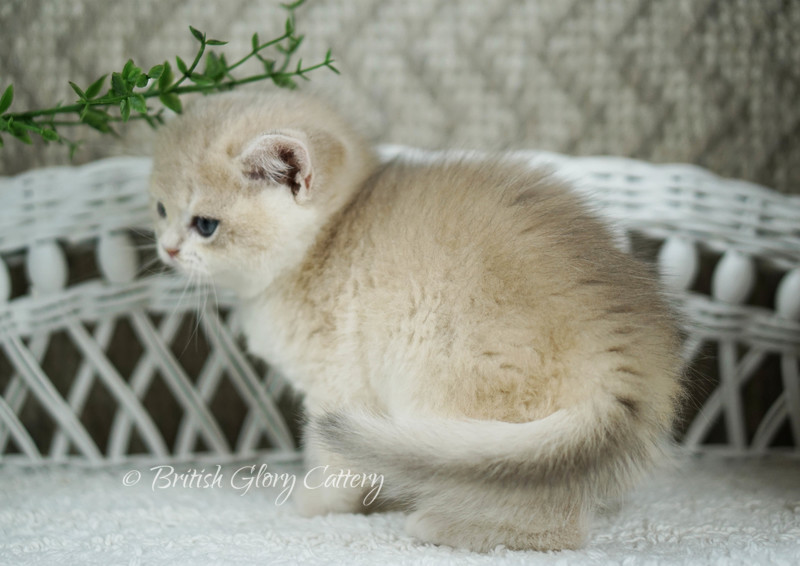 Blue golden chinchilla kitten