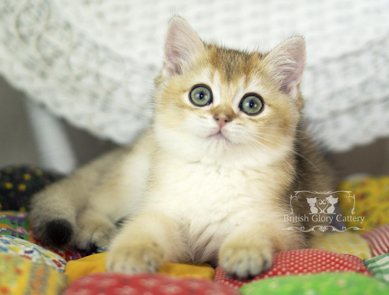 Black Golden Shaded British Kitten