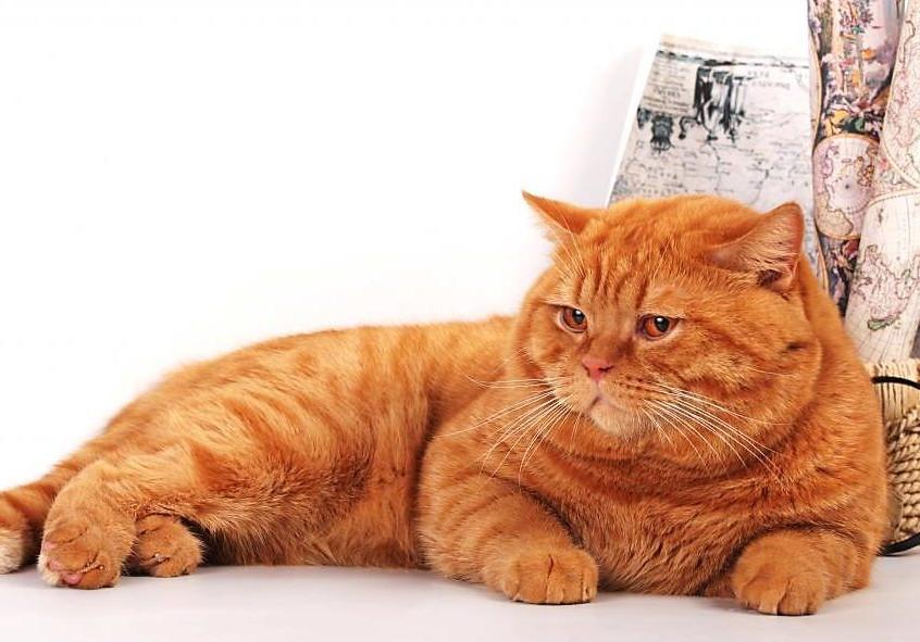 Red British Cat