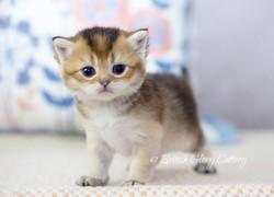 Black Godlen Shaded British Kitten