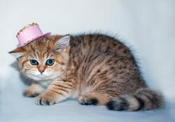Black Golden Shaded British Shorthair Female Kitten with Green Eyes